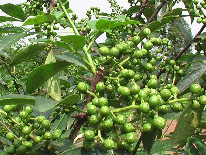 Green Peppercorn tree